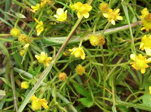 Ranunculus sp. /キンポウゲ属7-B 183