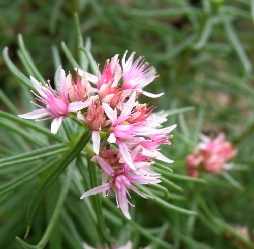 Rhodiola sp./イワベンケイ属12-B 209