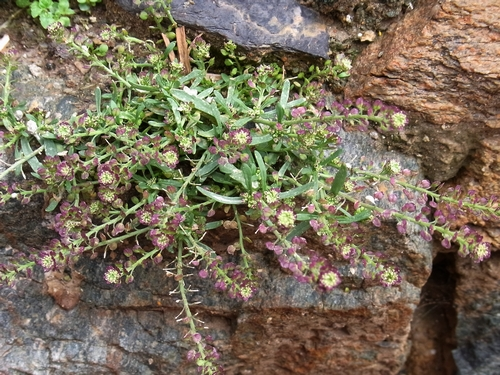 (Capsella sp.)/(ナズナ属)1-B 230