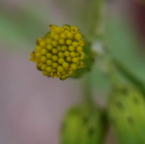 (Senecio sp.)/キオン属5-B 247