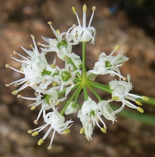 Allium oreoprasum /ネギ属7-B 265