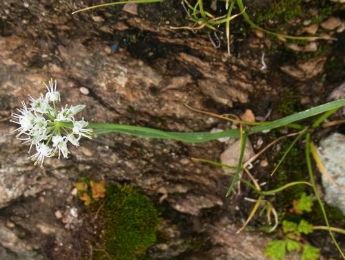 Allium oreoprasum /ネギ属7-B 264