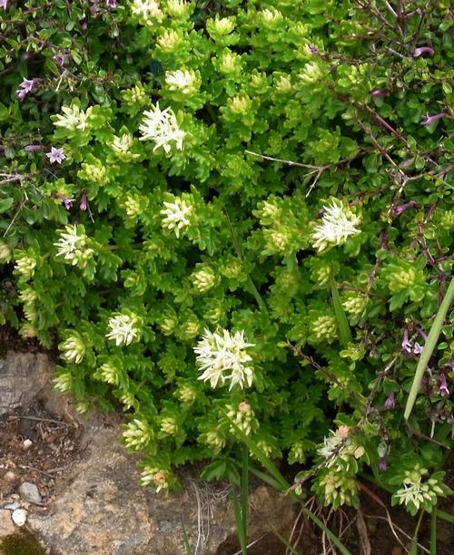 Rhodiola sp./イワベンケイ属4-B 299