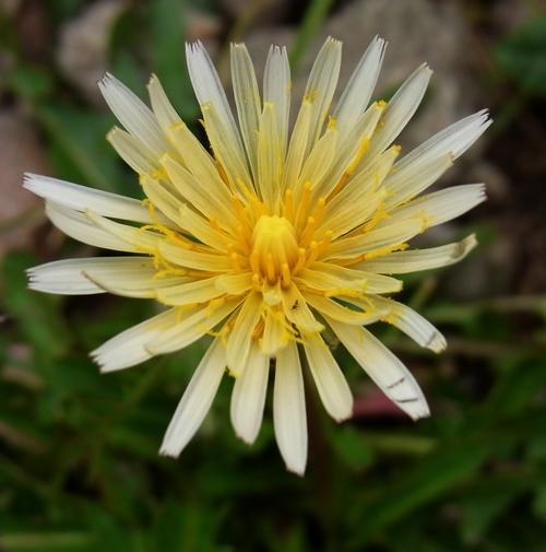 Taraxacum  sikkimense/タンポポ属12-B 338