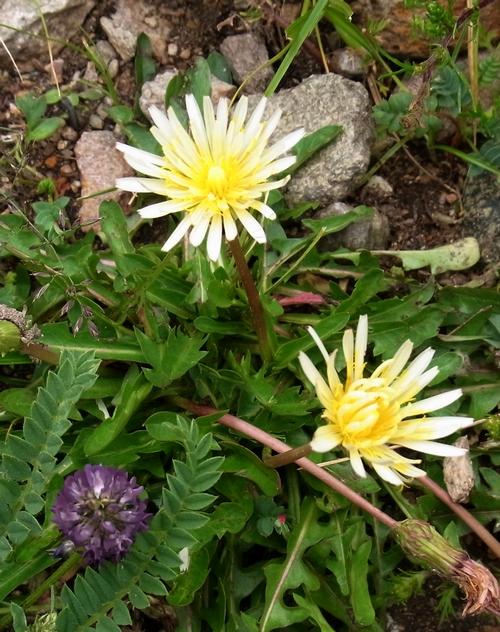 Taraxacum sikkimense /タンポポ属12-B 336