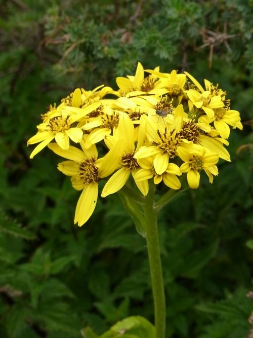 Ligularia rumicifolia /メタカラコウ属5-B 364