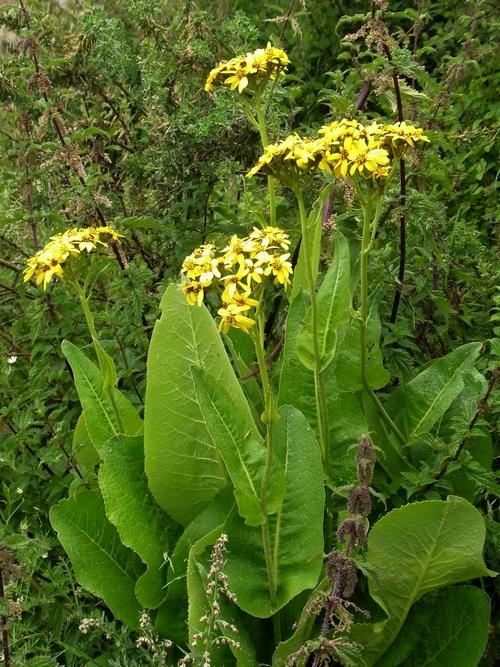 Ligularia rumicifolia /メタカラコウ属5-B 360