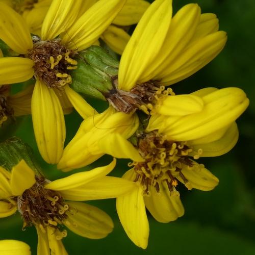 Ligularia rumicifolia /メタカラコウ属5-B 362