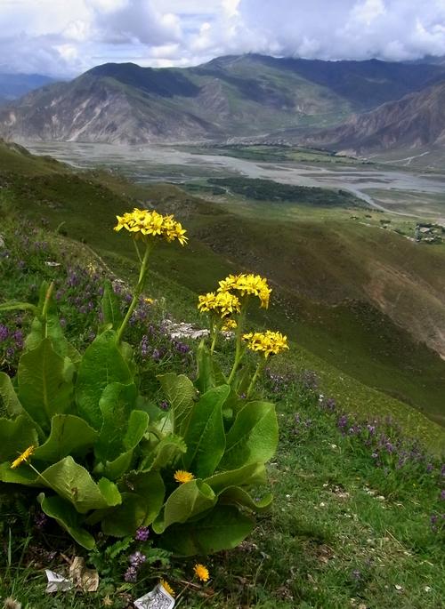 Ligularia rumicifolia /メタカラコウ属0-B 402