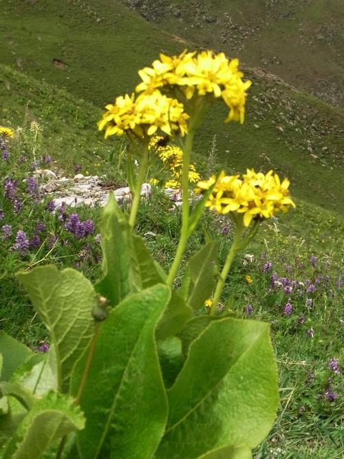 Ligularia rumicifolia /メタカラコウ属0-B 401