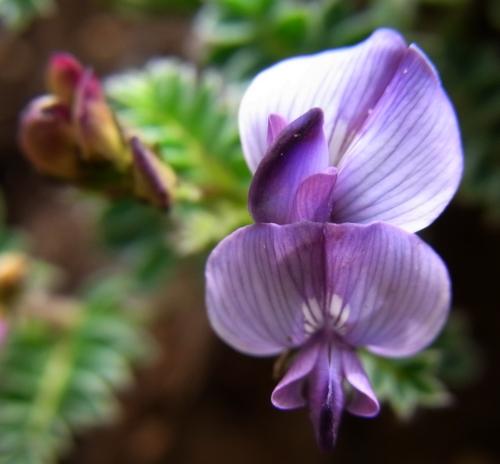Oxytropis sp./オヤマノエンドウ属4-B 414