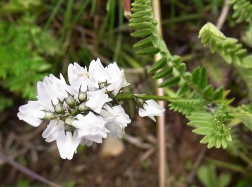 Oxytropis sp./オヤマノエンドウ属3-B 410