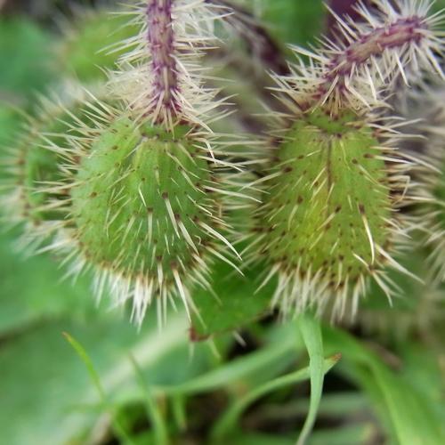 Meconopsis sp. /メコノプシス属8-B 491
