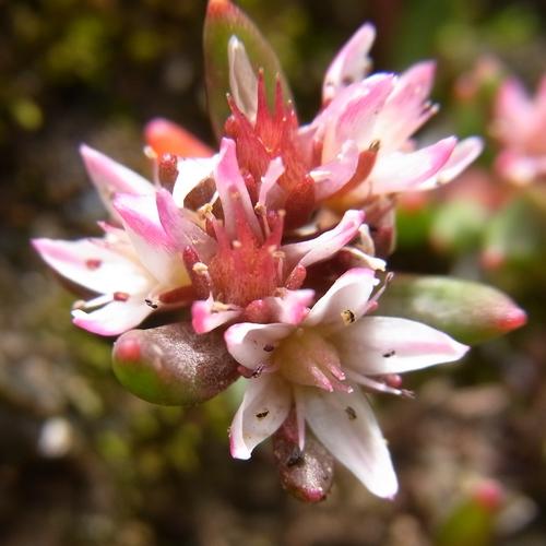 Rhodiola sp./イワベンケイ属11-B 510