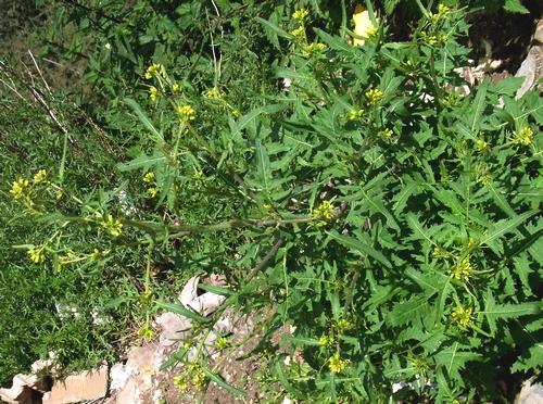 Chorispora (sibirica) /ツノミナズナ属4-B 572