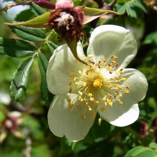 Rosa sericea /バラ属3-B 568