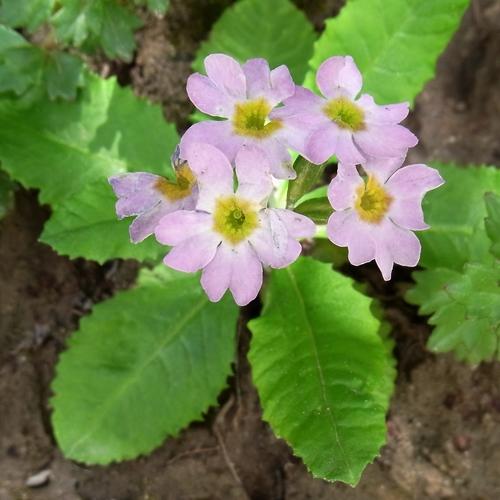 Primula sp. /サクラソウ属7-B 583