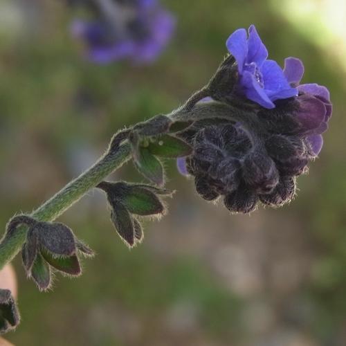 (Hackelia sp./イワムラサキ属)11-B 608