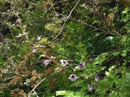 Delphinium  hillcoatiae /オオヒエンソウ属1-B 517