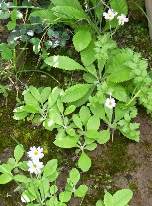Primula sp. /サクラソウ属4-B 554