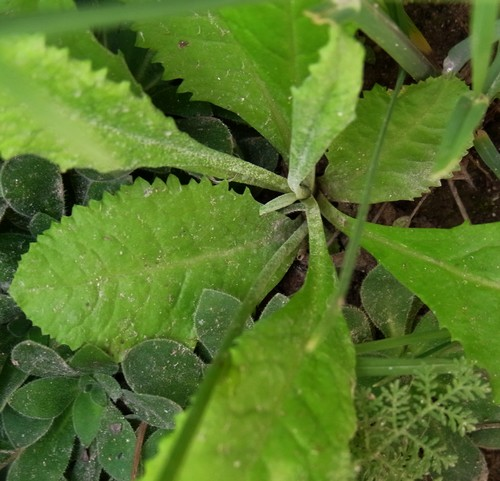 Primula sp. /サクラソウ属4-B 536