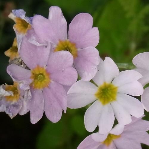 Primula sp. /サクラソウ属4-B 535