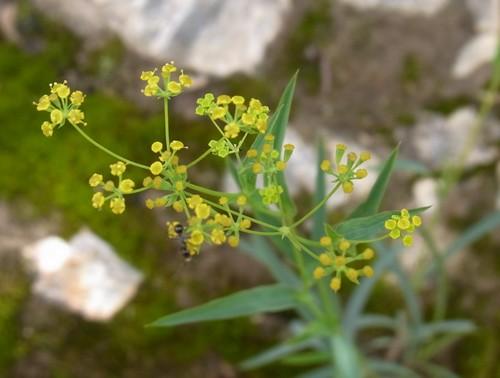 Bupleurum  falcatum /ミシマサイコ属9-B 552