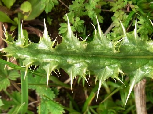 Cryptothladia polyphylla /クリプトスラティア属1a-B 409