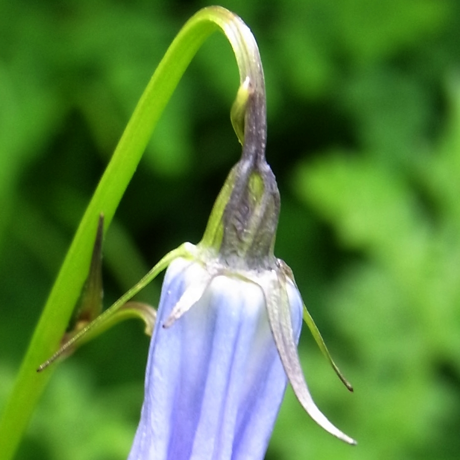 Adenophora himalayana /ツリガネニンジン属10b -B 498