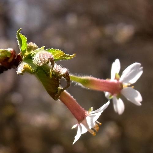 チョウジザクラ-4 RIMG0108