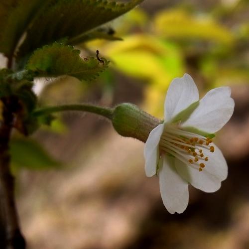 チョウジザクラ-3 RIMG0106