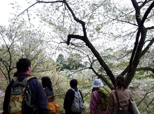 桜散策 RIMG0133