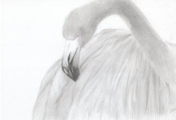 鉛筆画フラミンゴ013