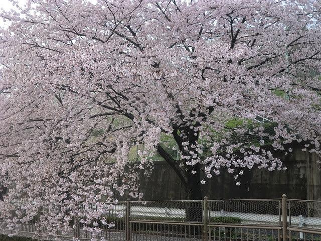 桜 003