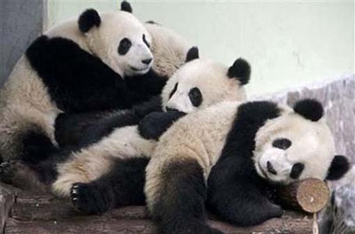 100108_panda-cubs[1]