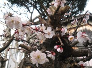 2010.3.3紅梅blog