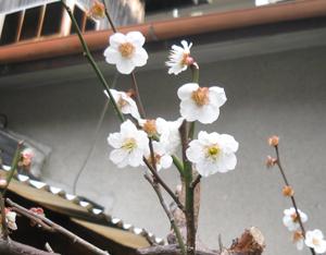 2010.3.3白梅blog
