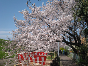 2010.4.4花見blog02