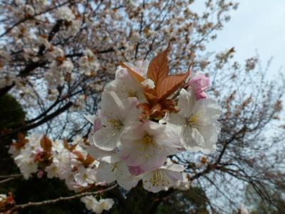 八重左近桜4.10