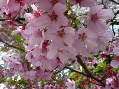 新宿御苑桜⑤4.10