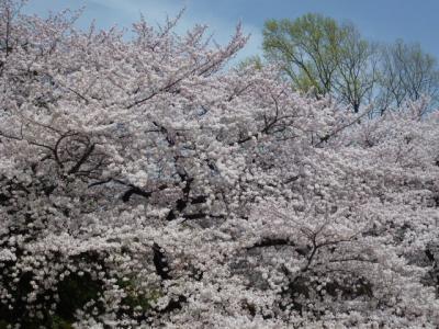新宿御苑桜④4.10