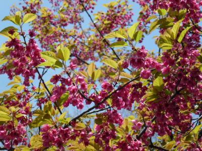 ヒマラヤ緋桜4.10