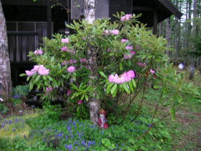 日本石楠花