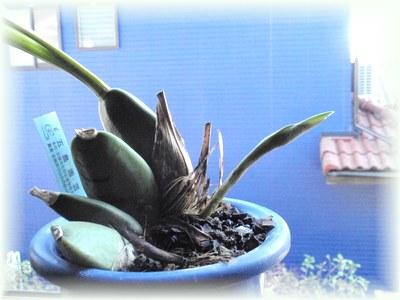 リカステの花芽