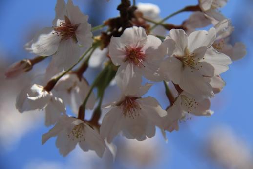 太田山桜2