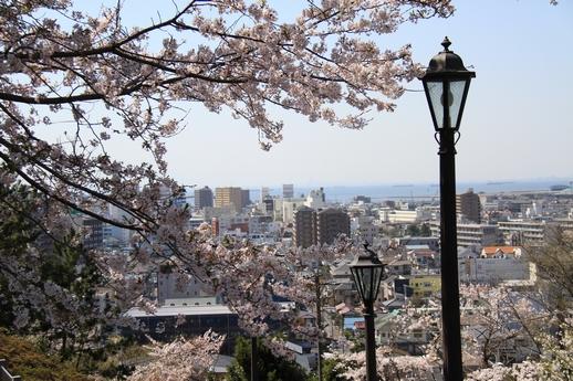 太田山桜1