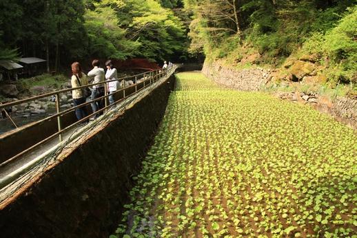 12.浄蓮の滝わさび畑