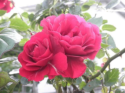 20100522祖母宅バラ