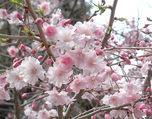 20110411しだれ桜