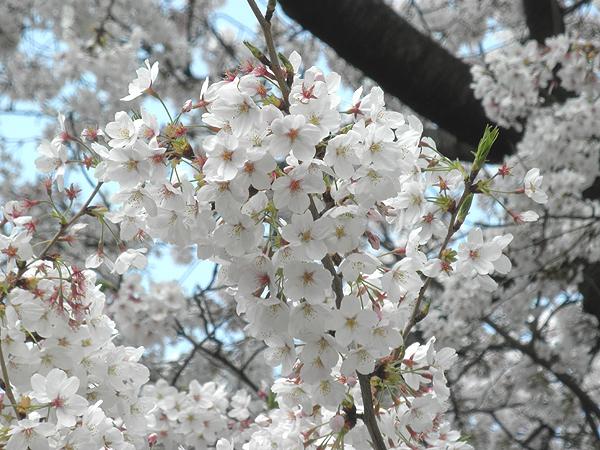 20110411桜①